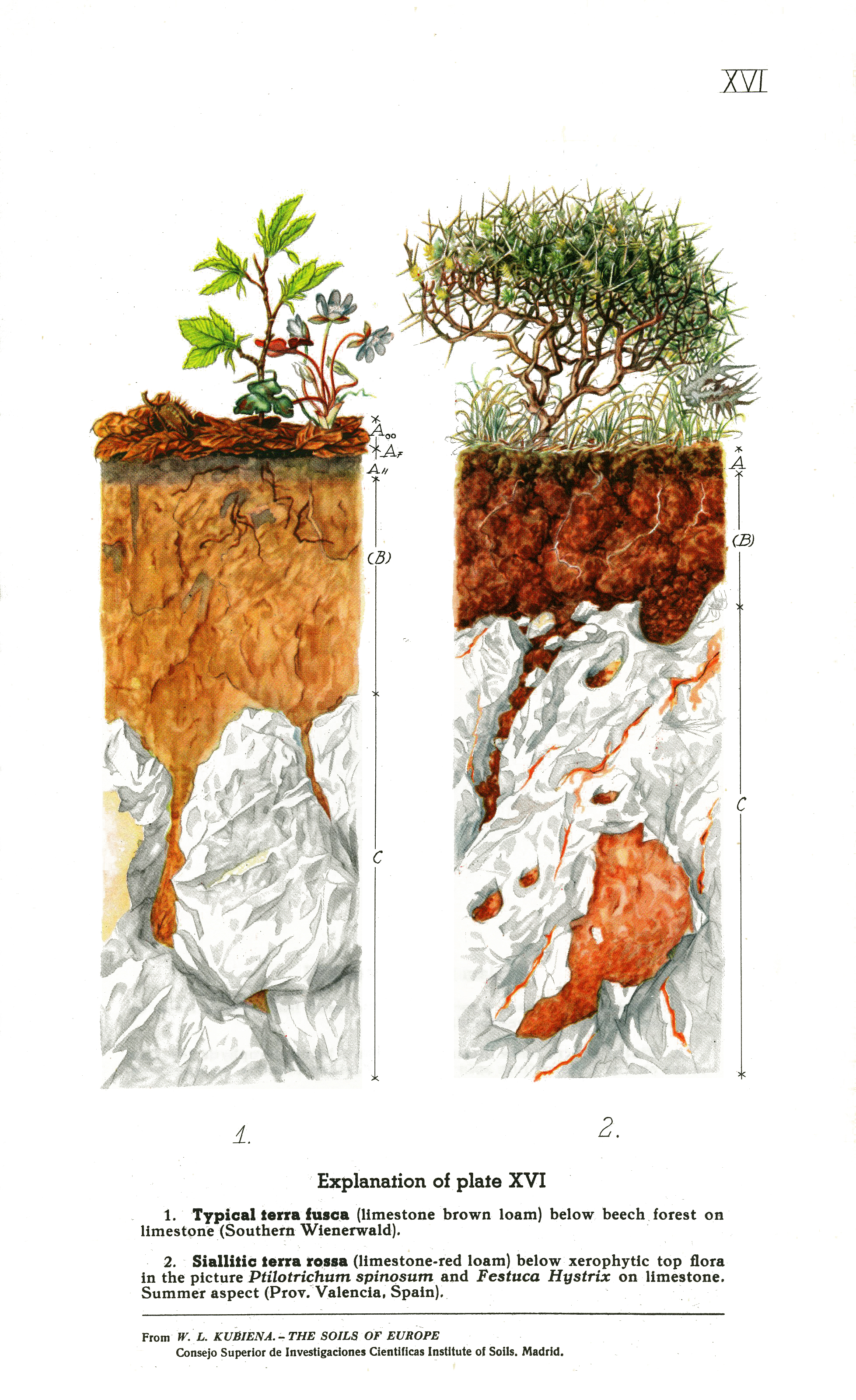 Atlas of soil profiles prof dr wl kubina plate images pooptronica Images